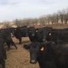 80 hd of Quality Fall Calving cows