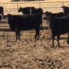 Nice set of 30  Northern  second trimester cows