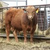 PRICE REDUCED! Commercial Red Angus Bulls