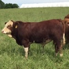Registered Fleckvieh Bulls