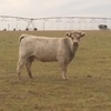 8 Head of Char x club calf cows in Texas panhandle