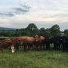 Devon Cross Grass fed Herd for Sale
