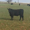 Front Pasture Angus/Angus influenced heifers in Okalhoma