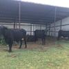 10 head of Brangus Cows for sale due to drought