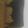 Three year old Registerd Angus Bull