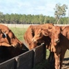 60 Red Angus Cross & Red Brangus Open Heifers